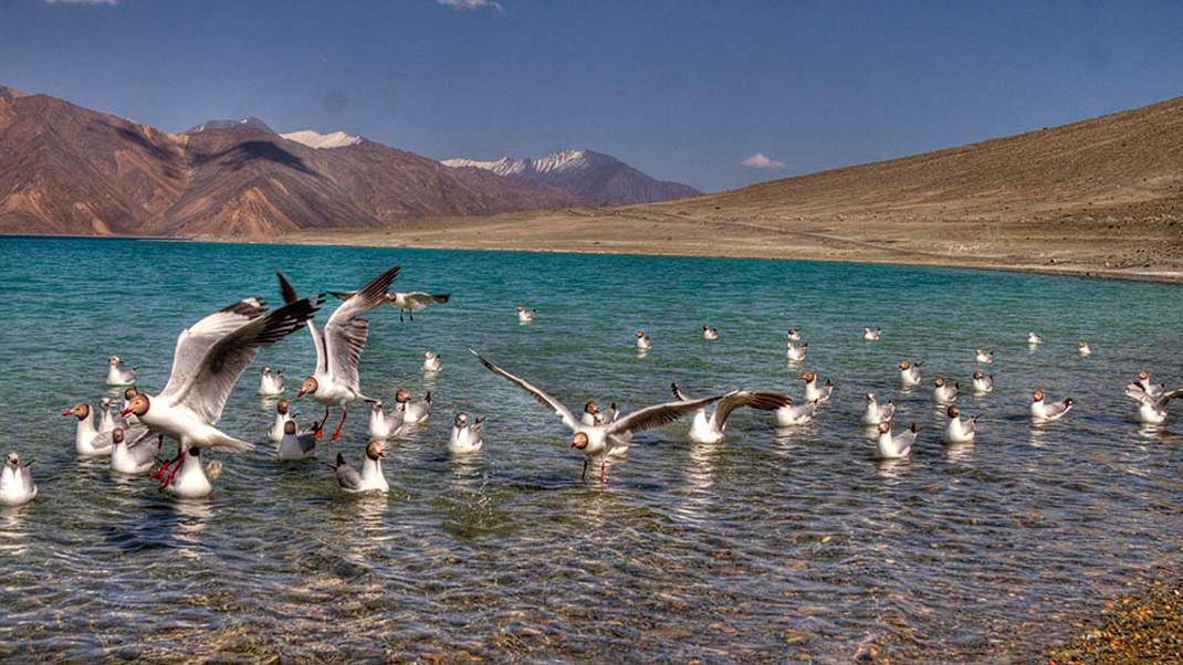 Pangong Lake Birds
